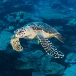 Green or Hawksbill – telling your turtles apart