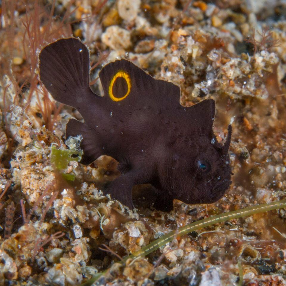 "Little Frogfish ""Rediscovered"" After More Than a Century"