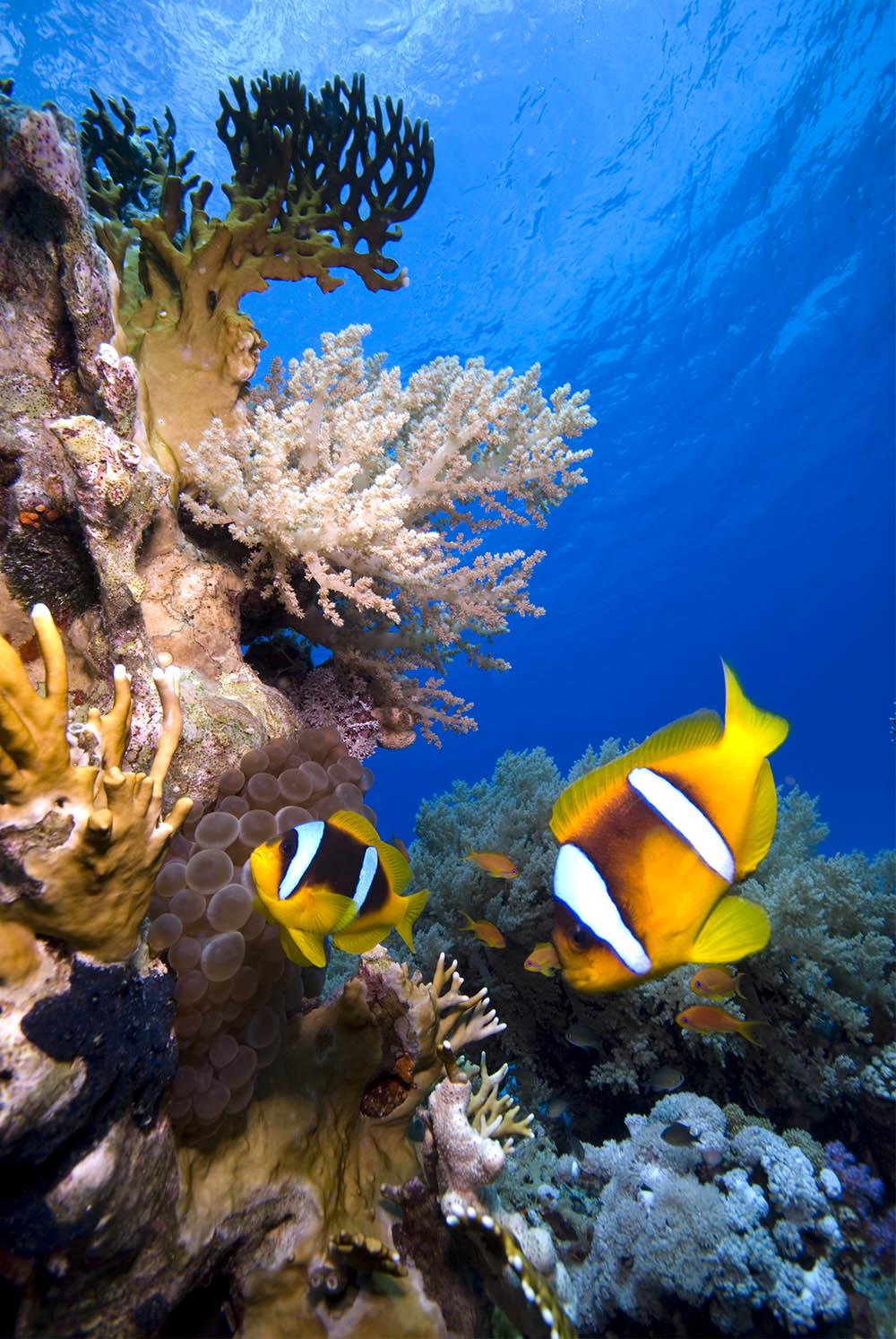 clown fish, anemone, reef