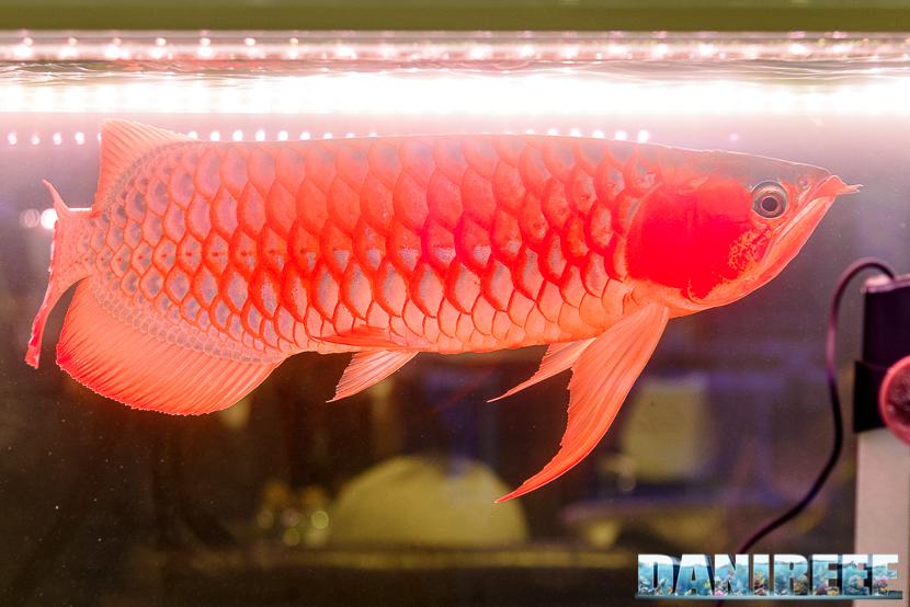 201711 arowana, cips, pesci 230 Copyright by DaniReef