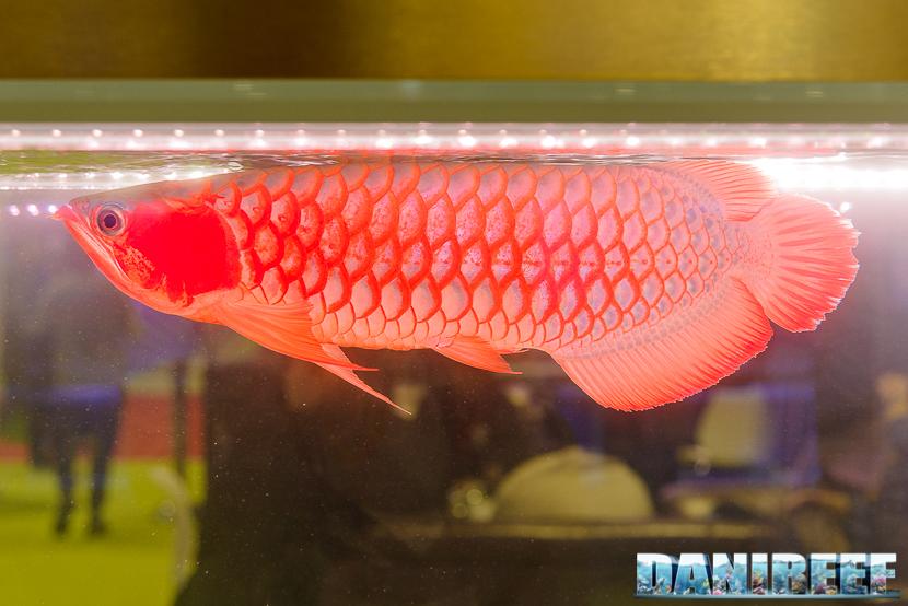 201711 arowana, cips, pesci 232 Copyright by DaniReef
