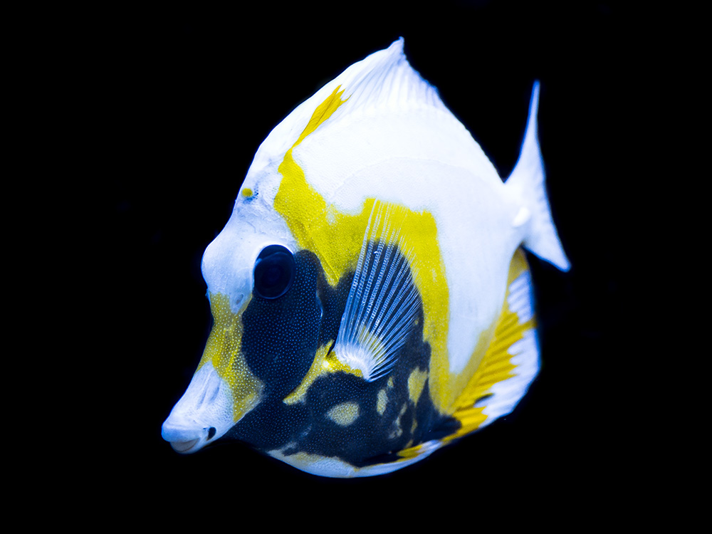 Reefs Com All About Koi Aberrant Scopas Tang Reefs Com