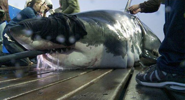shark mary lee