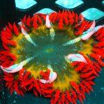 rock flower anemone