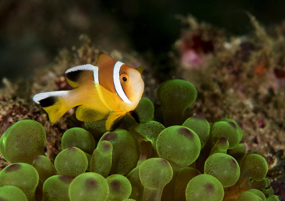 anemonefish, clownfish