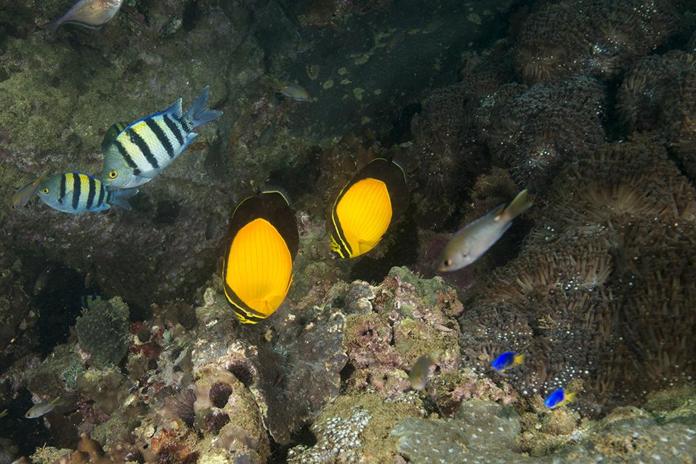 arabian butterflyfish