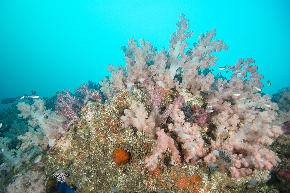 soft coral, arabian sea