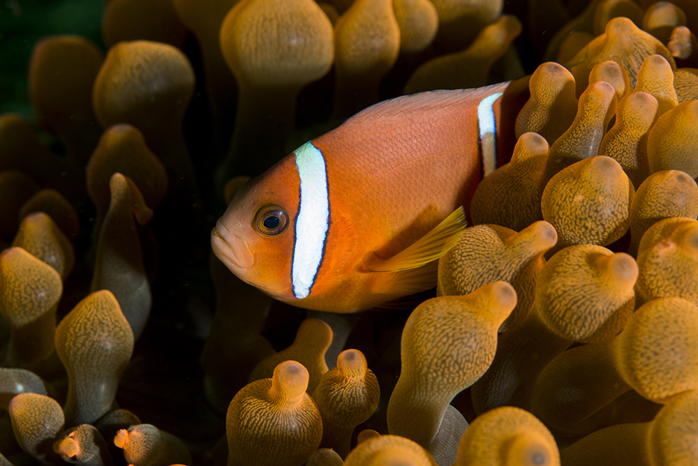 clownfish, Amphiprion omanensis