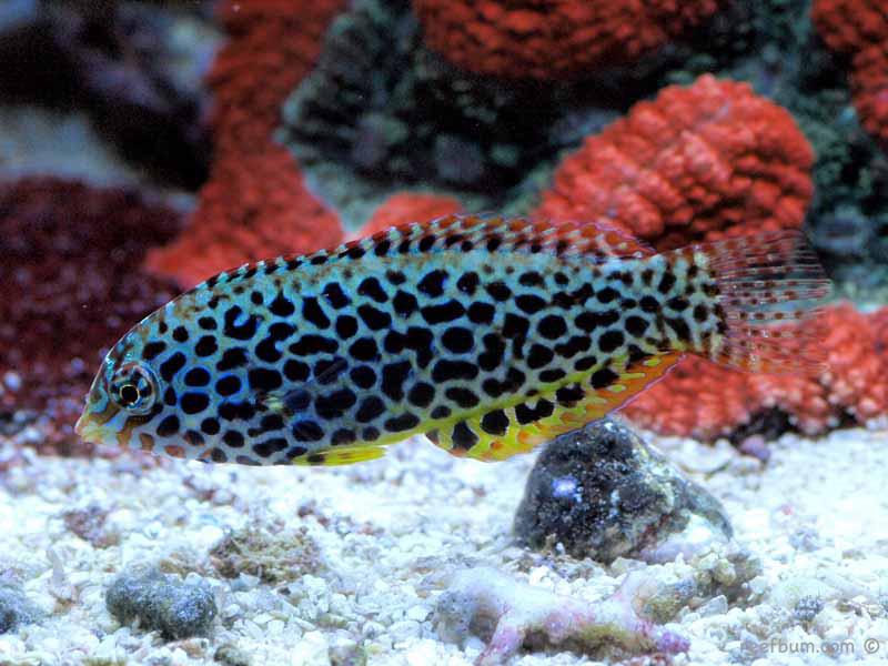Focus on Fish – Leopard Wrasse | Reefs.com - photo#28