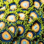 Zoanthids- a photographic journey