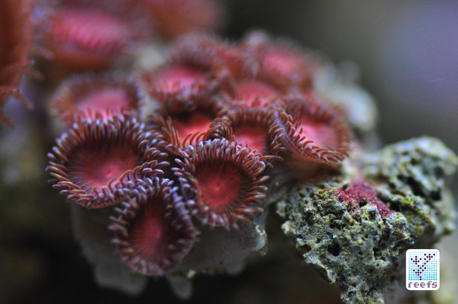 zoanthid, palythoa