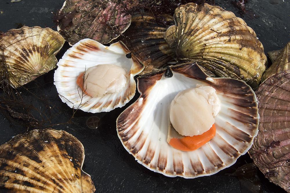 scallop, clam