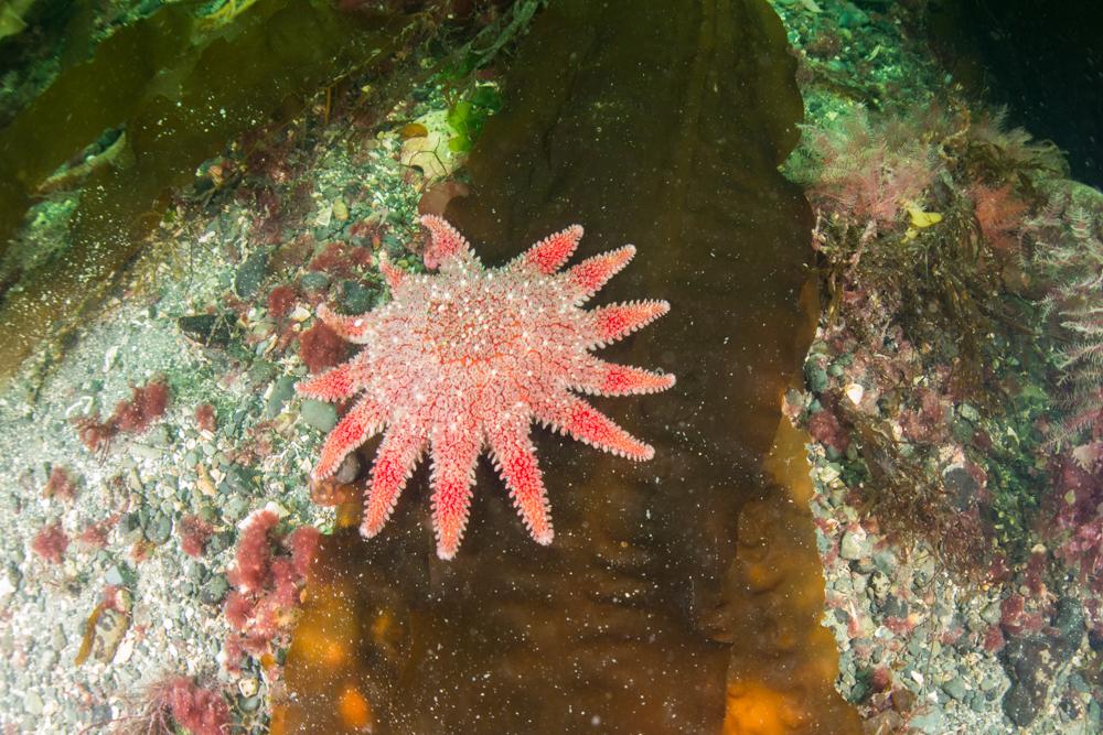 sunstar, starfish