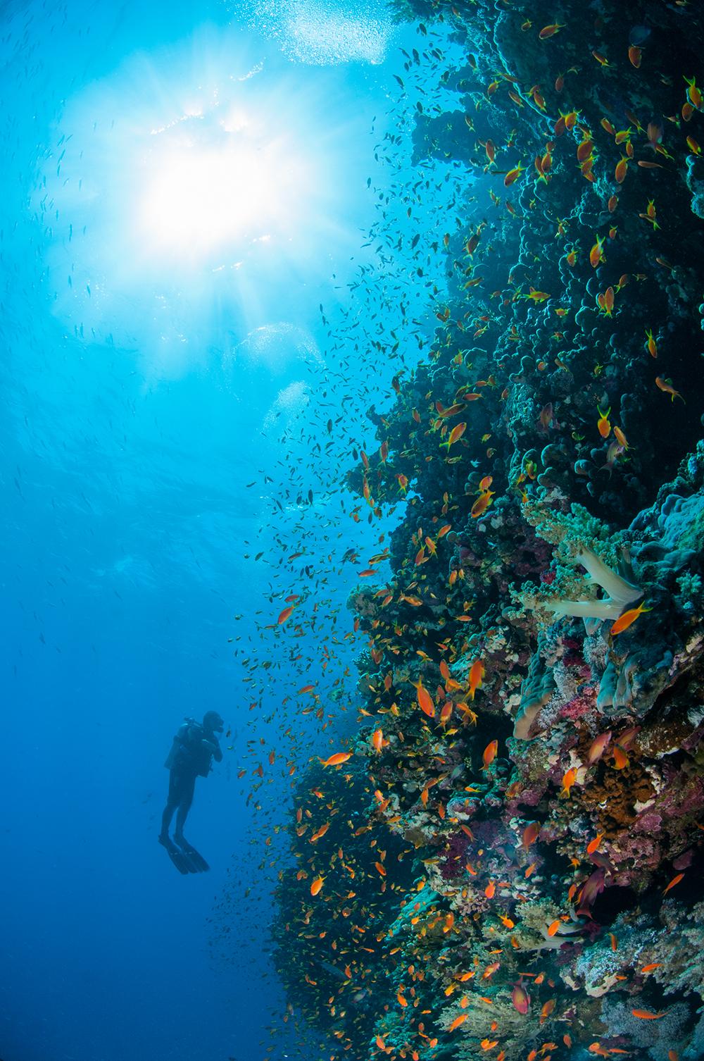Pseudanthias squamipinnis, diver, reef wall