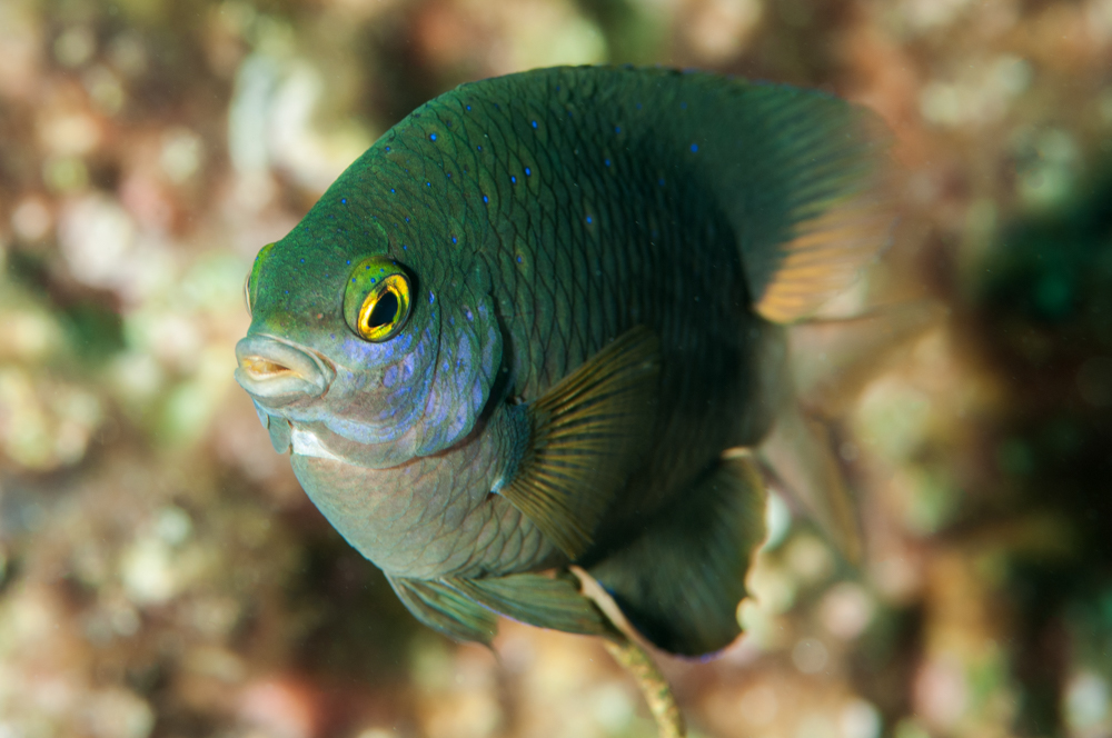 damsel, damselfish