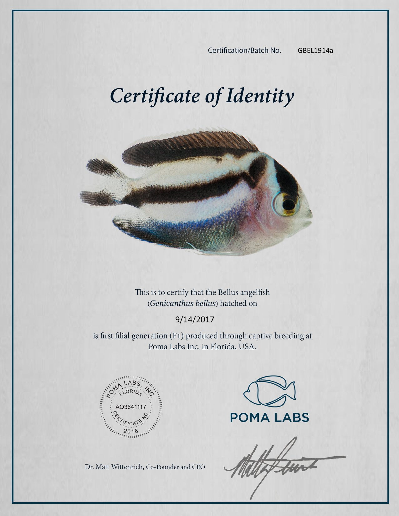 poma labs captive bred bellus angelfish genicanthus bellus becomes