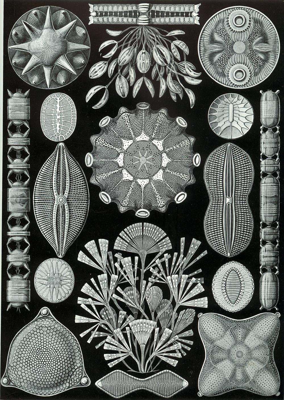 Ernst Haeckel, illustration