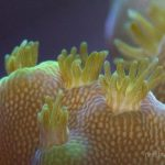 coral polyp