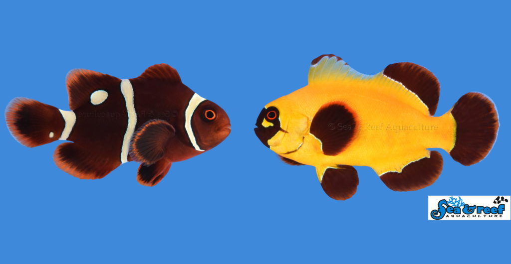 gold dot nugget maroon clownfish