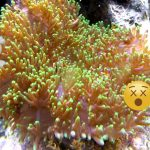 Rhodactis Mushroom Corals Are Surprisingly Deadly