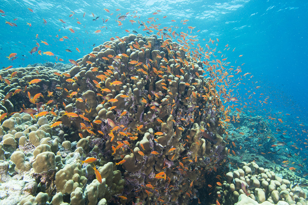 coral, reef, anthias, red sea