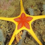 Australia's Red & Yellow Iconaster Sea Star