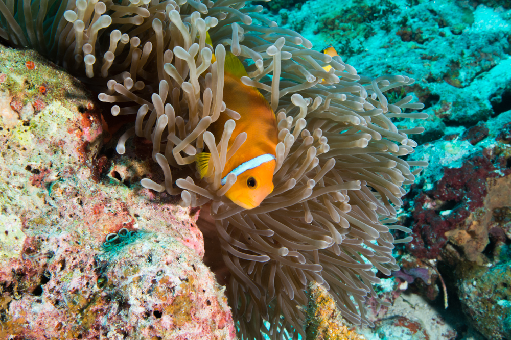 Amphiprion nigripes blackfoot clown