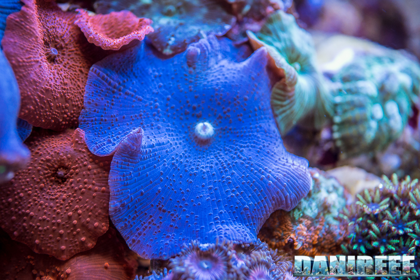201805 Actinodiscus, Coralli, dejong marinelife, interzoo, macro, molli 70 Copyright by DaniReef