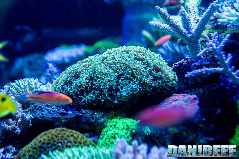 201805 Coralli, dejong marinelife, euphyllia, interzoo, lps 03 Copyright by DaniReef