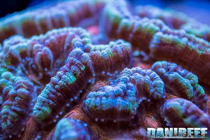 201805 Coralli, dejong marinelife, interzoo, lps, macro 43 Copyright by DaniReef
