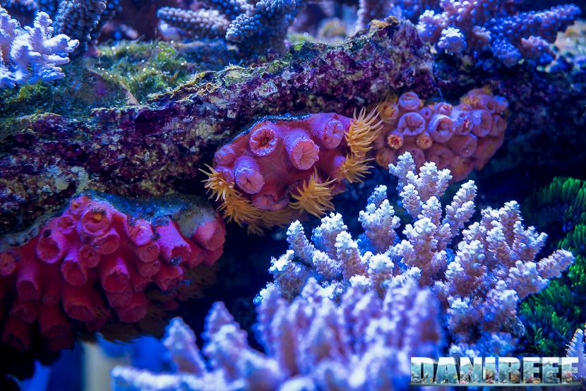 201805 Coralli, dejong marinelife, interzoo, lps, tubastrea 47 Copyright by DaniReef