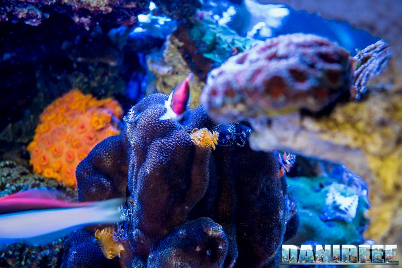 201805 Coralli, dejong marinelife, interzoo, macro, Porites lobata, spirobranchi, sps 36 Copyright by DaniReef