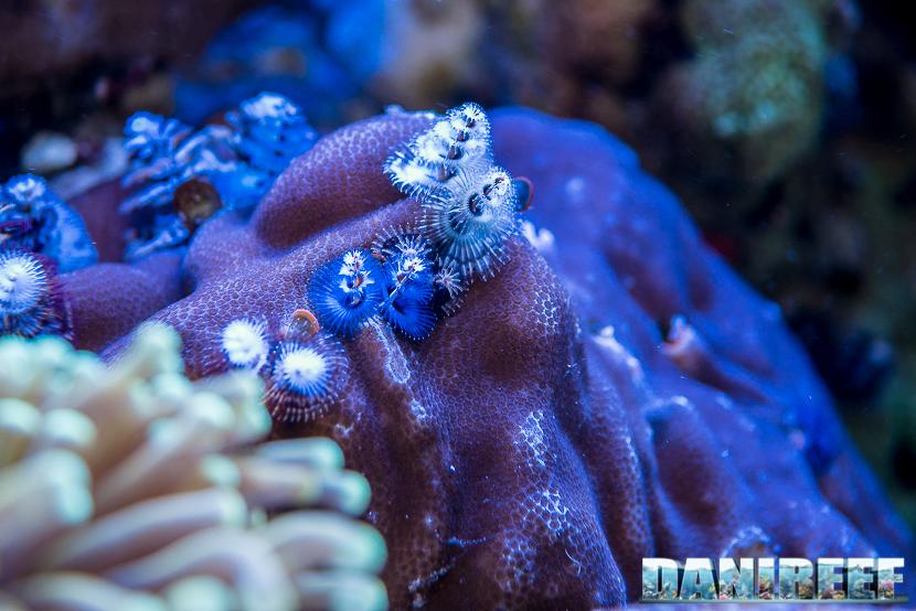 201805 Coralli, dejong marinelife, interzoo, macro, Porites lobata, spirobranchi, sps 44 Copyright by DaniReef