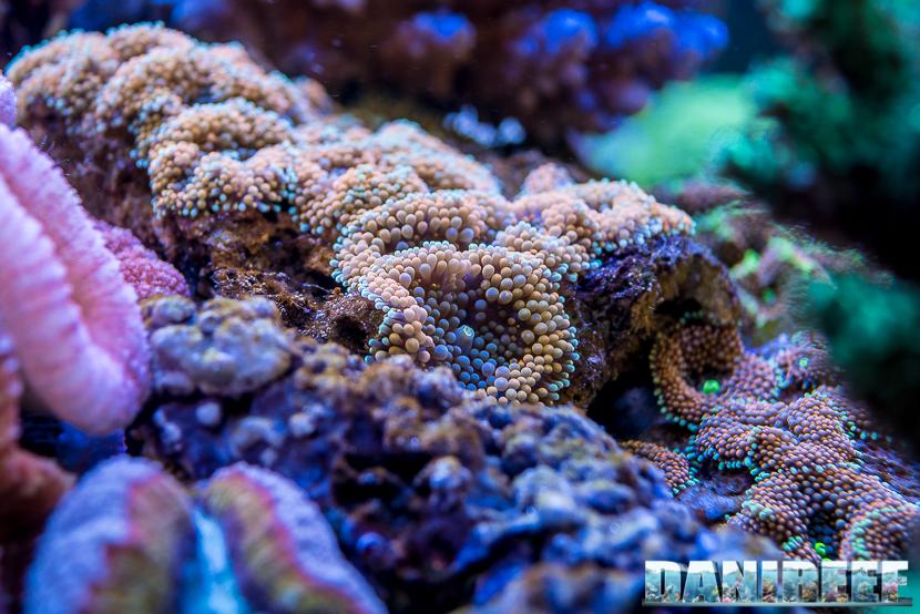 201805 Coralli, dejong marinelife, interzoo, macro, molli, ricordea 17 Copyright by DaniReef