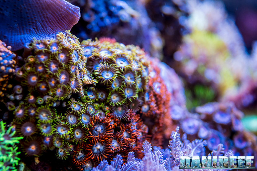 201805 Coralli, dejong marinelife, interzoo, molli, zoanthus 68 Copyright by DaniReef