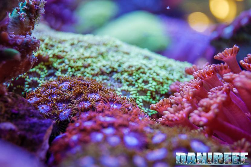 201805 Coralli, dejong marinelife, interzoo, molli, zoanthus 75 Copyright by DaniReef