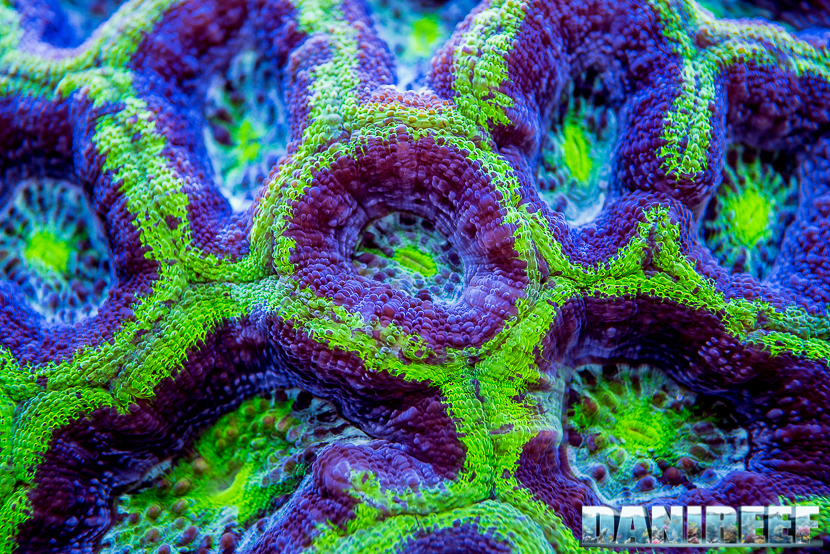 201805 acanthastrea, Coralli, dejong marinelife, interzoo, lps, macro, micromussa 65 Copyright by DaniReef