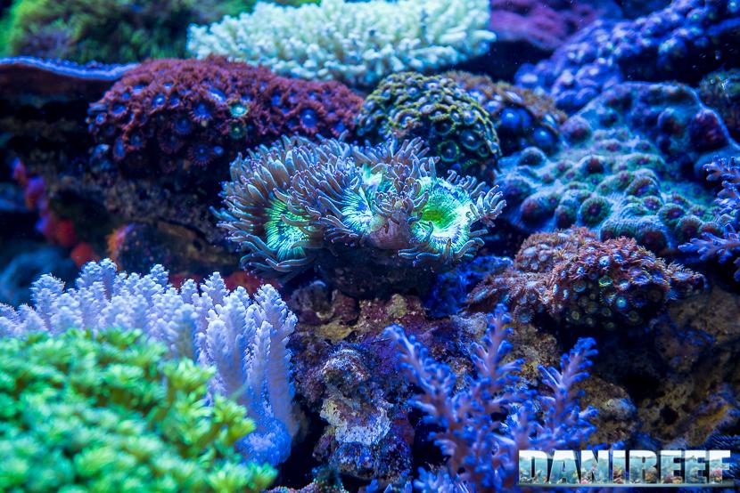 201805 acropora, Coralli, dejong marinelife, duncanopsammia, interzoo, lps, macro 33 Copyright by DaniReef