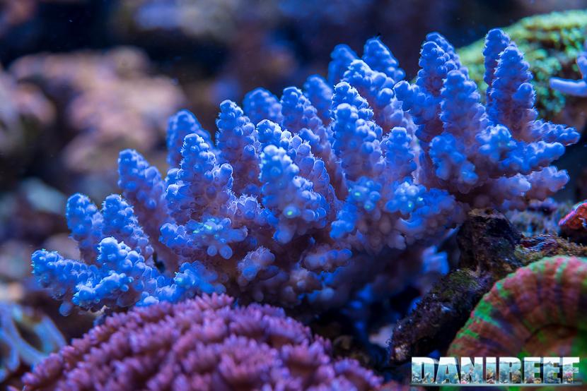 201805 acropora, Coralli, dejong marinelife, interzoo, macro, sps 26 Copyright by DaniReef