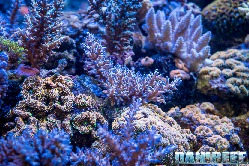 201805 acropora, Coralli, dejong marinelife, interzoo, macro, sps 27 Copyright by DaniReef