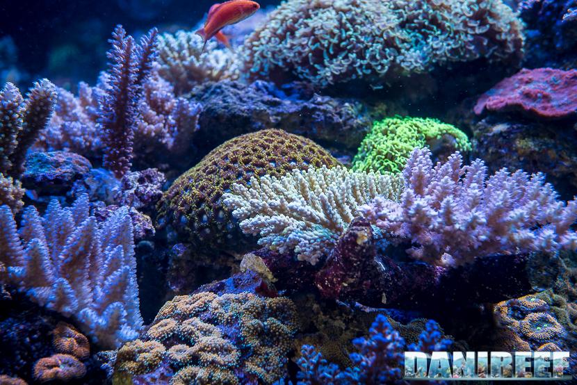 201805 acropora, Coralli, dejong marinelife, interzoo, macro, sps 28 Copyright by DaniReef