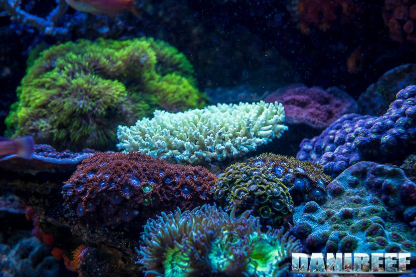 201805 acropora, Coralli, dejong marinelife, interzoo, macro, sps 32 Copyright by DaniReef
