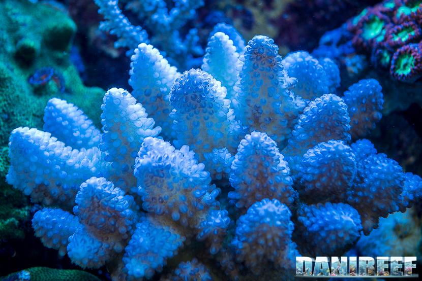 201805 acropora, Coralli, dejong marinelife, interzoo, macro, sps 41 Copyright by DaniReef