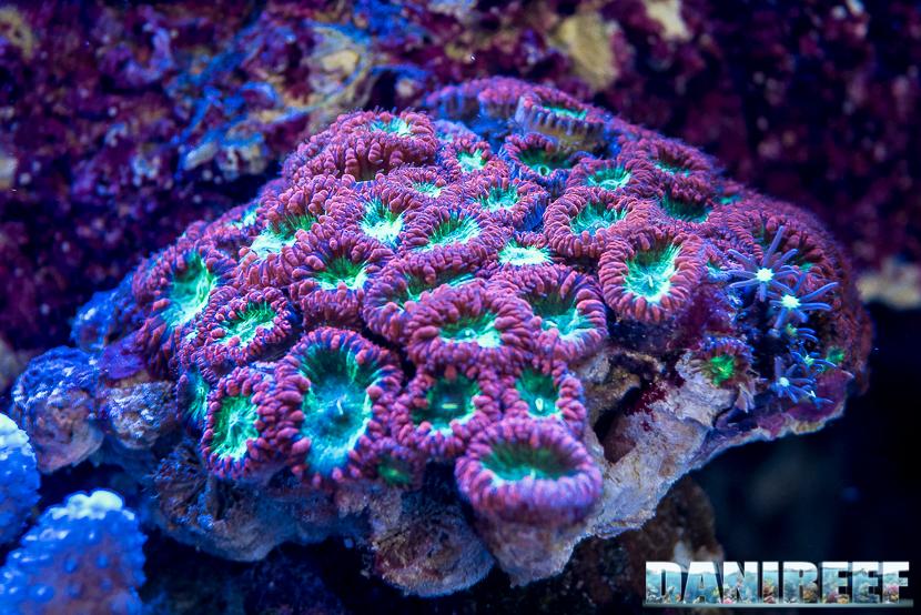 201805 blastomussa, Coralli, dejong marinelife, interzoo, lps, macro 42 Copyright by DaniReef