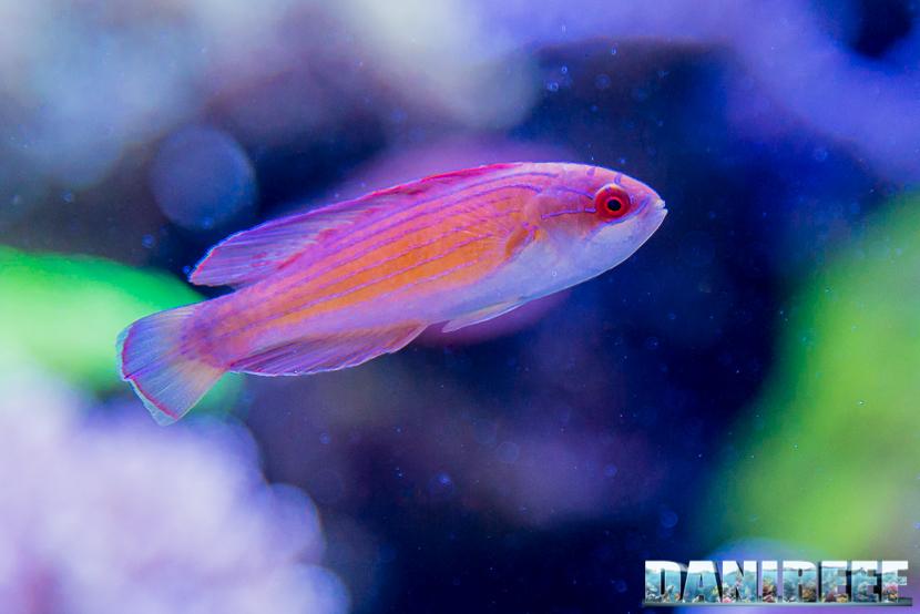 201805 cirrhilabrus, dejong marinelife, interzoo, labride, pesci 20 Copyright by DaniReef