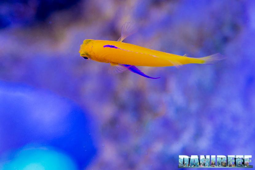 201805 dejong marinelife, Gramma dejonji, interzoo, pesci 07 Copyright by DaniReef