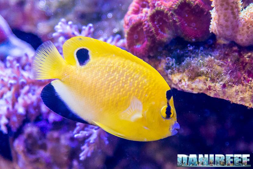 201805 dejong marinelife, interzoo, pesce angelo, pesci 19 Copyright by DaniReef