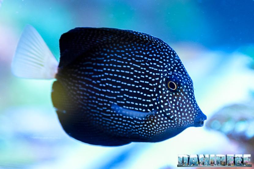 201805 dejong marinelife, interzoo, pesce chirurgo, pesci, Zebrasoma gemmatum 01 Copyright by DaniReef
