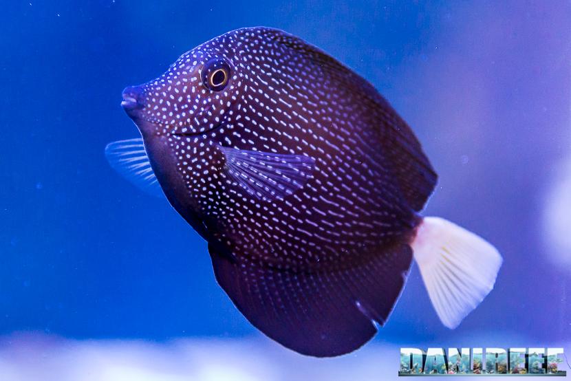 201805 dejong marinelife, interzoo, pesce chirurgo, pesci, Zebrasoma gemmatum 22 Copyright by DaniReef