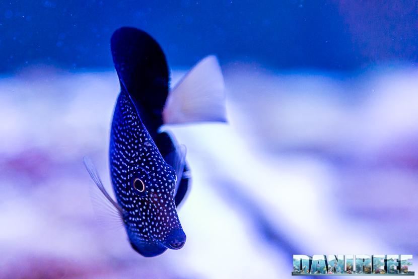 201805 dejong marinelife, interzoo, pesce chirurgo, pesci, Zebrasoma gemmatum 23 Copyright by DaniReef